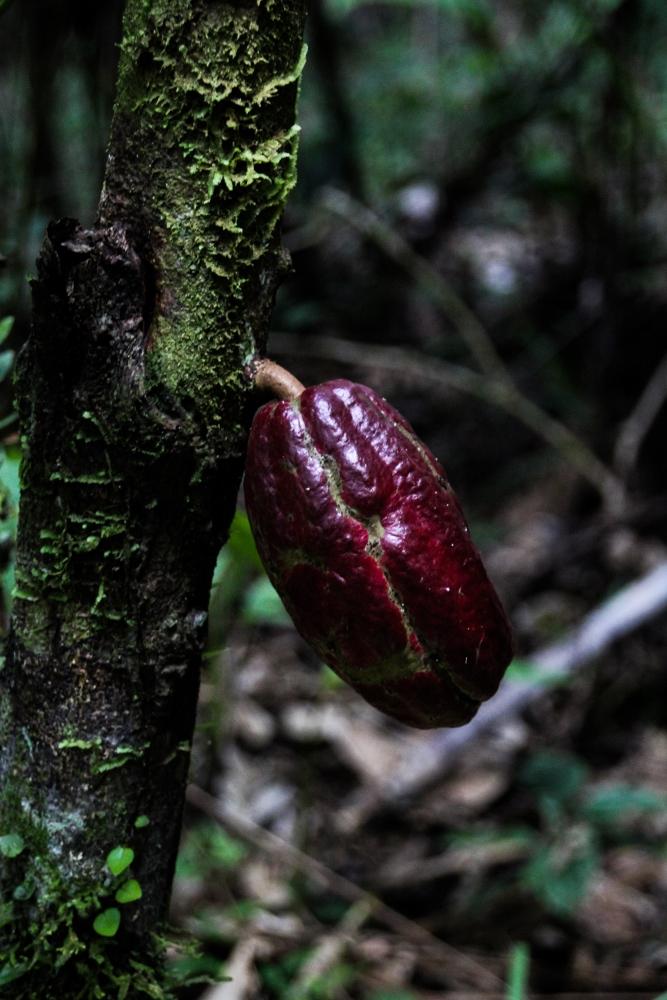 Ecuador Travelogue: The Amazon - Cacao Pod