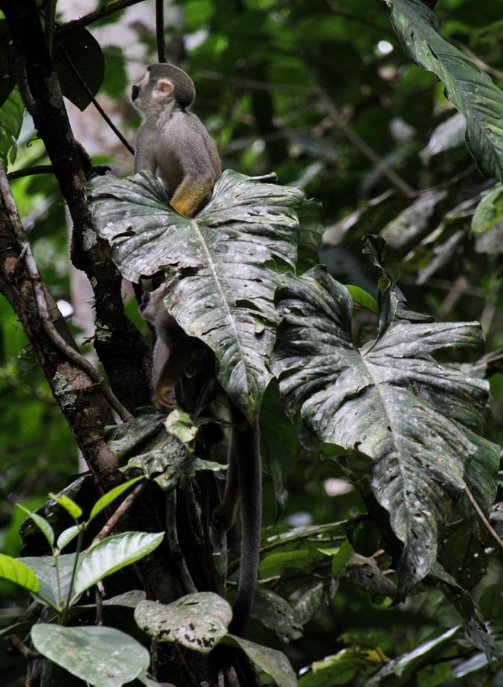 Ecuador Travelogue: The Amazon - Squirrel Monkeys {Katie at the Kitchen Door}
